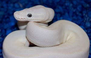 how to own a white ball python